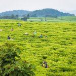 Ntendezi-Gaseke-Gisakura Tea Tour