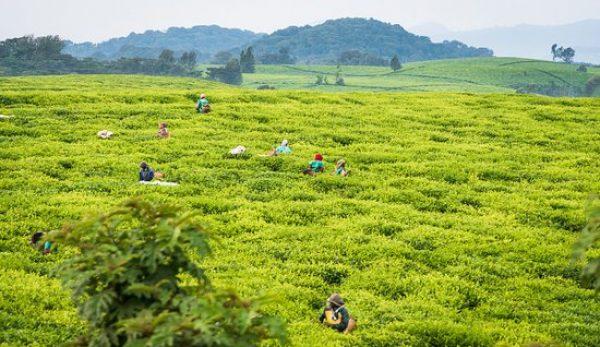 gisakura-tea-plantation
